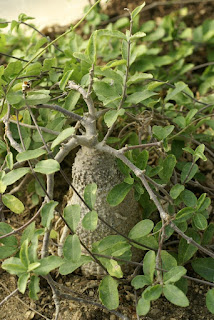 Fockea capensis - Fockea crispa