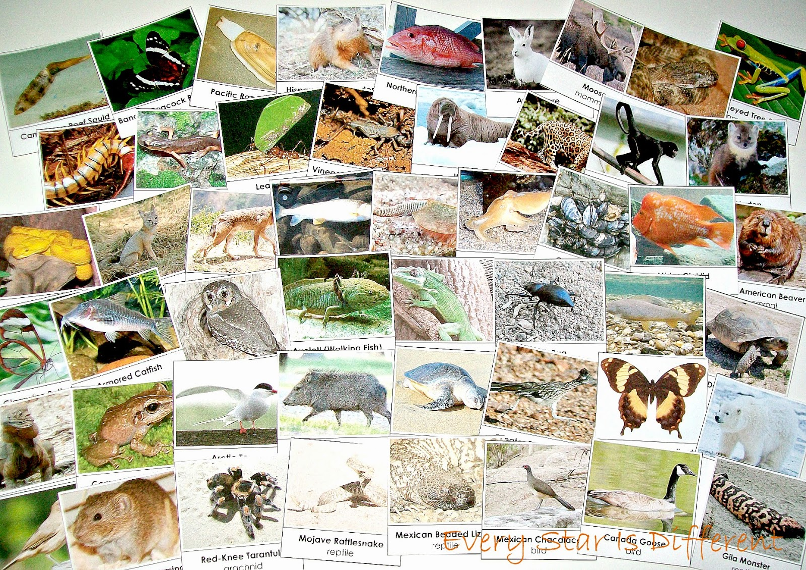 50 North America Animal Cards (free printable)