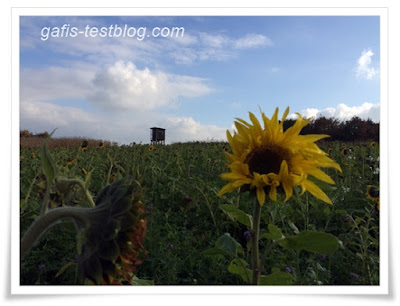 Sonnenblumenfeld im Oktober