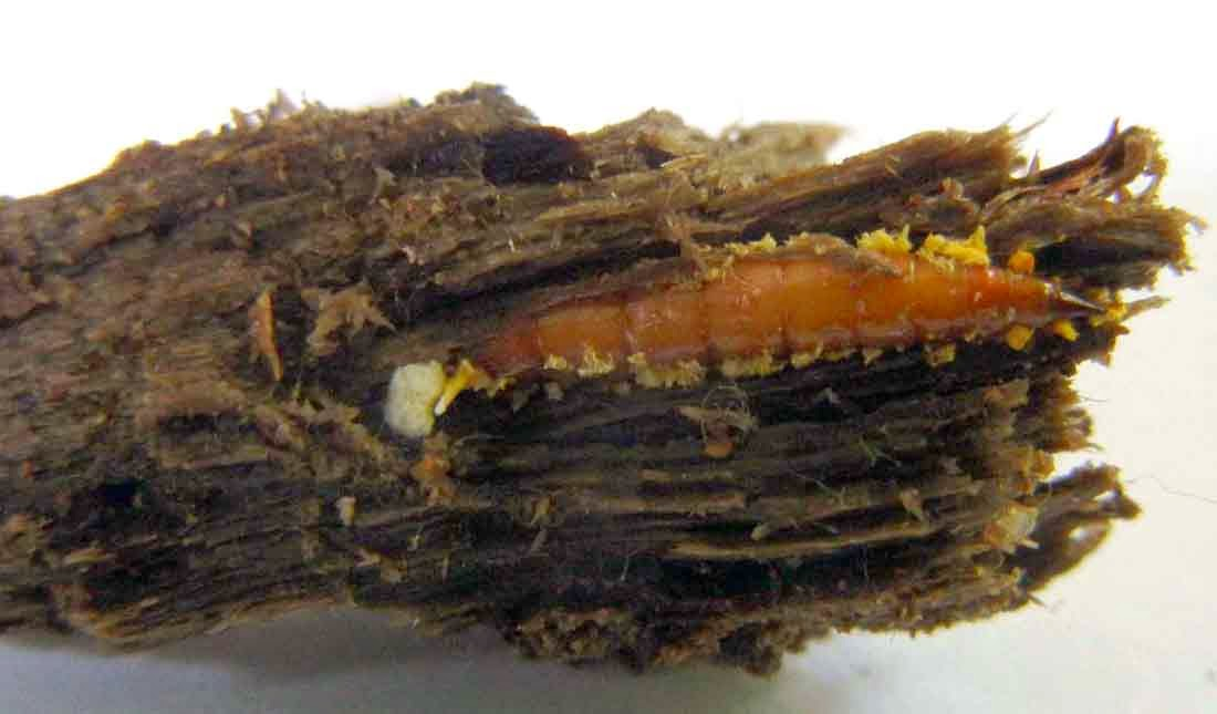 Xylophagus fly larva, host of Ophiocrodyceps variabilis