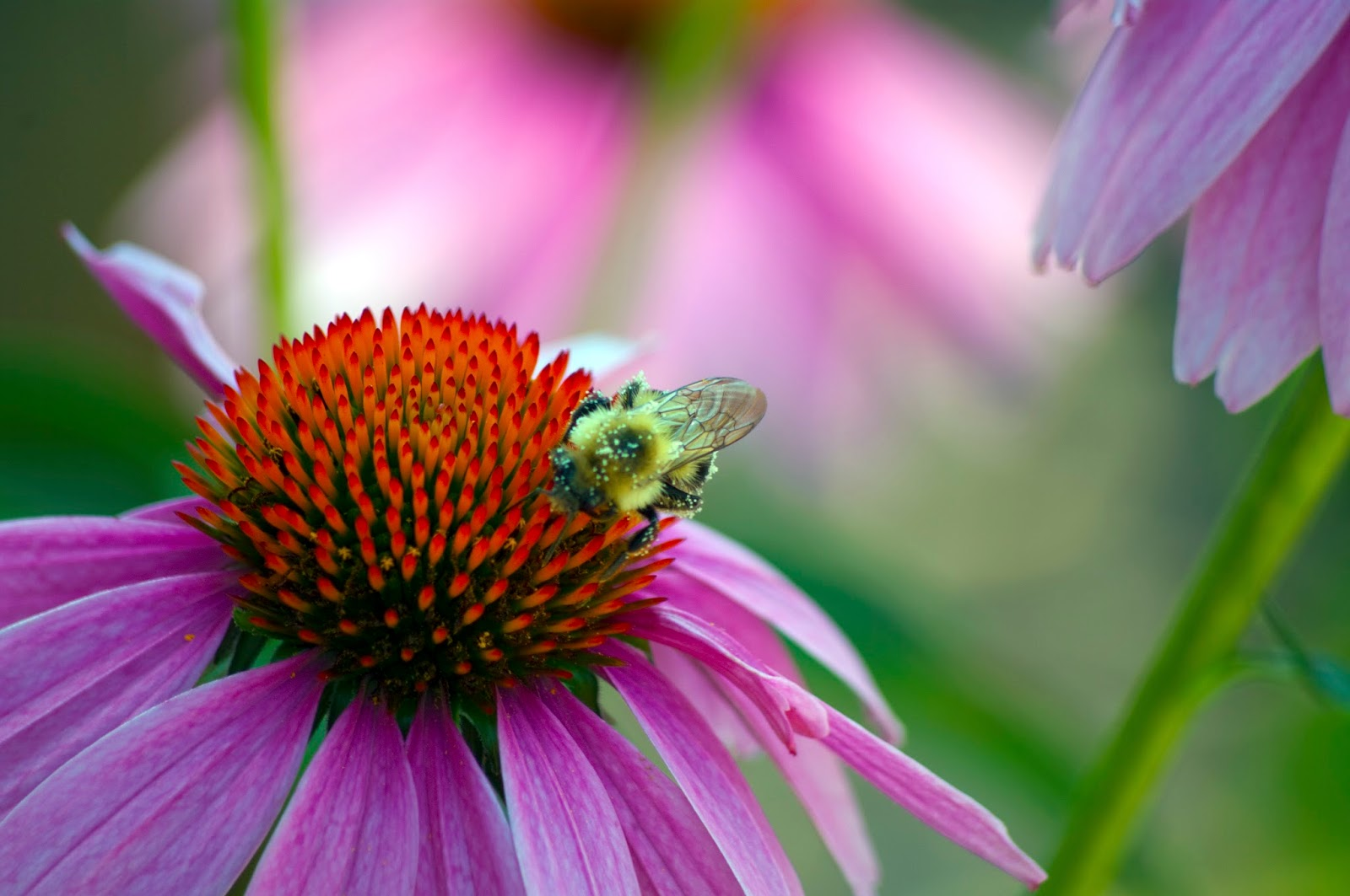 Purple Coneflower Wallpapers: Back To The Basics