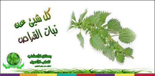 فوائد جمة لنبات القراص الحريقة أوالحريكة بالمغربية