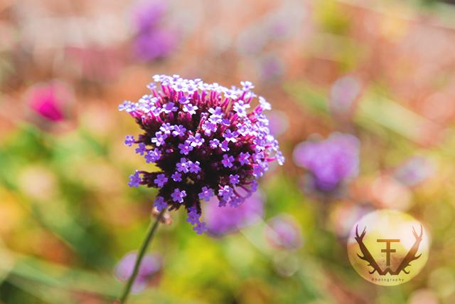 Blume, Flower, Macro, Violett, Hydepark