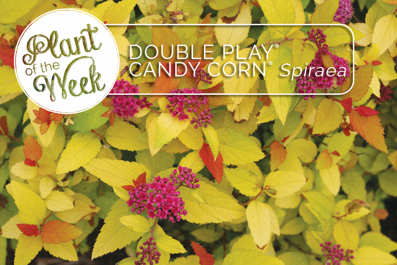 Proven Winners Colorchoice Plant Of The Week Plant Of The Week
