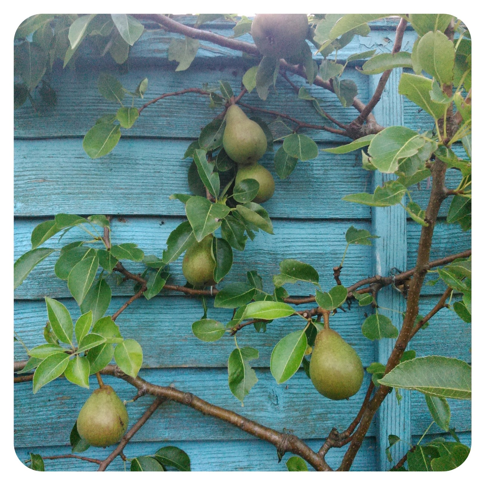Harriet's lovely pear tree