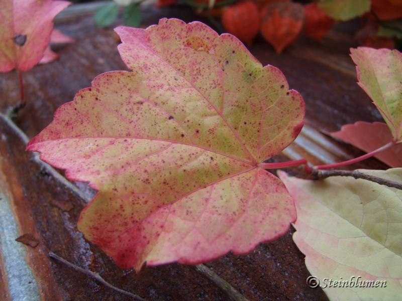 Herbstkranz wilder Wein