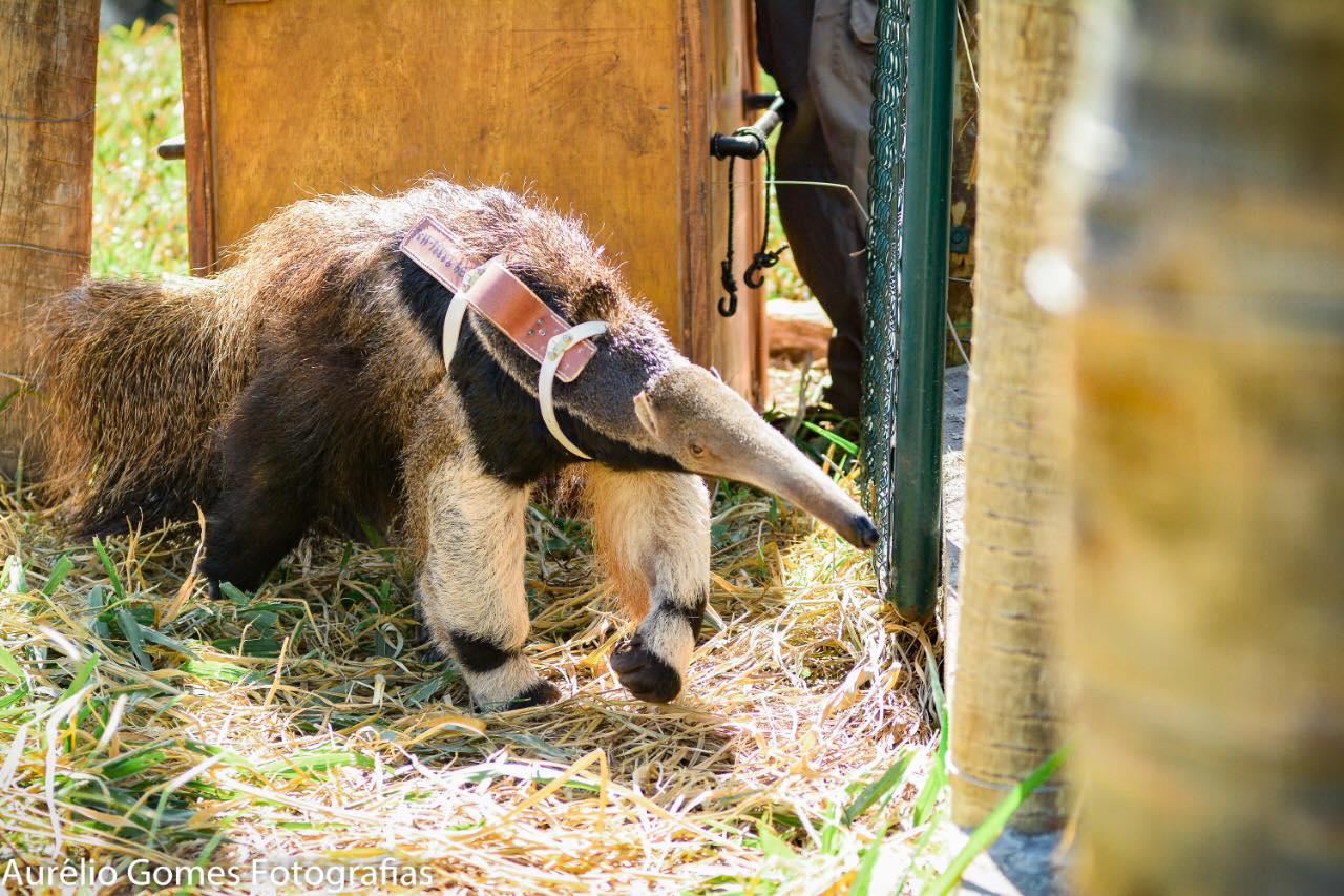 Instituto Estadual de Florestas reabilita animais silvestres vítimas de crimes ambientais - Foto: IEF/Divulgação