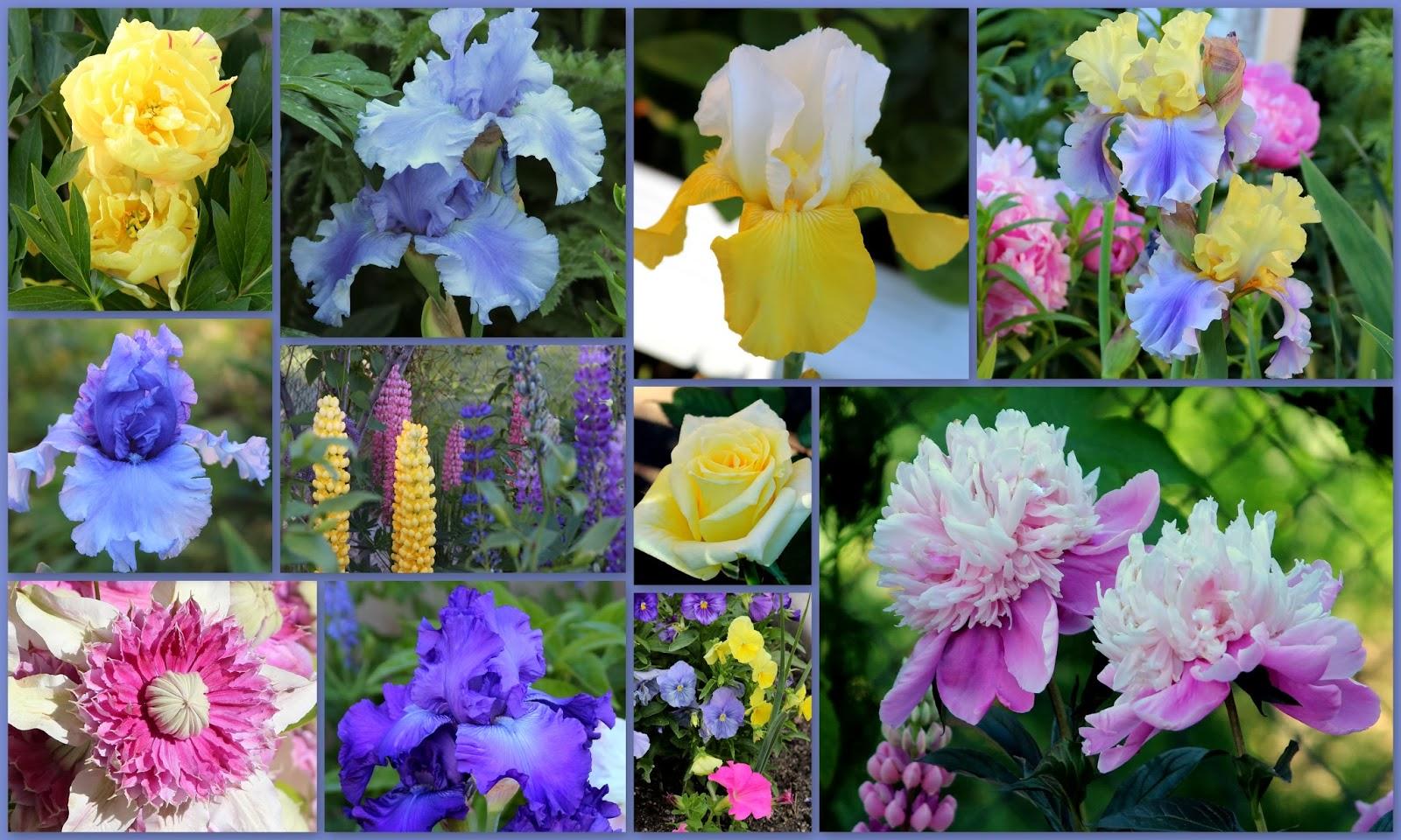 World Of Irises Talking Irises Looking Forward To Spring Tall