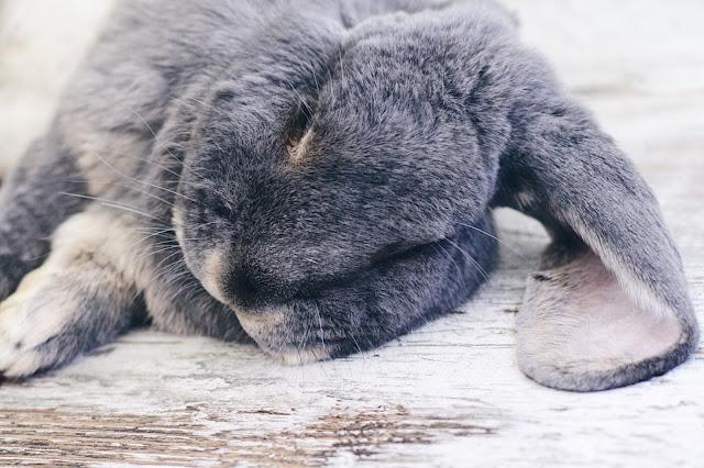 sherlock lapin belier francais loutre bleu