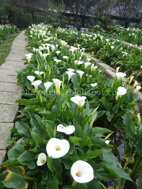 Picking Flowers Was Not Allowed In The Farm And You Can Just Pre Harvested Calla Lilies From Them Miau Ban Lily Garden Also Have Restaurant