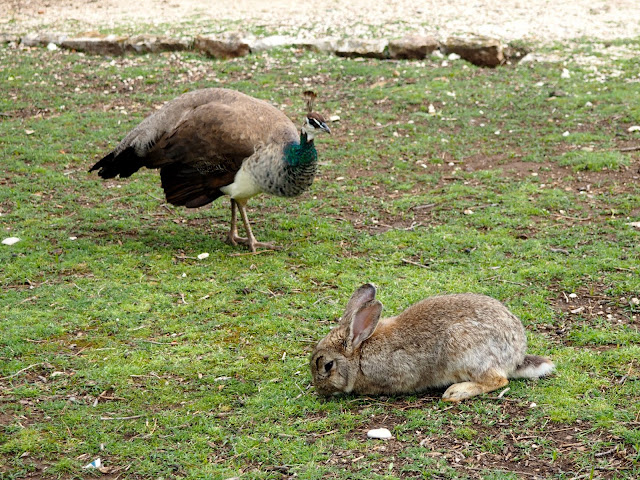 Rabbit and peahen on Lokrum Island, Dubrovnik, Croatia