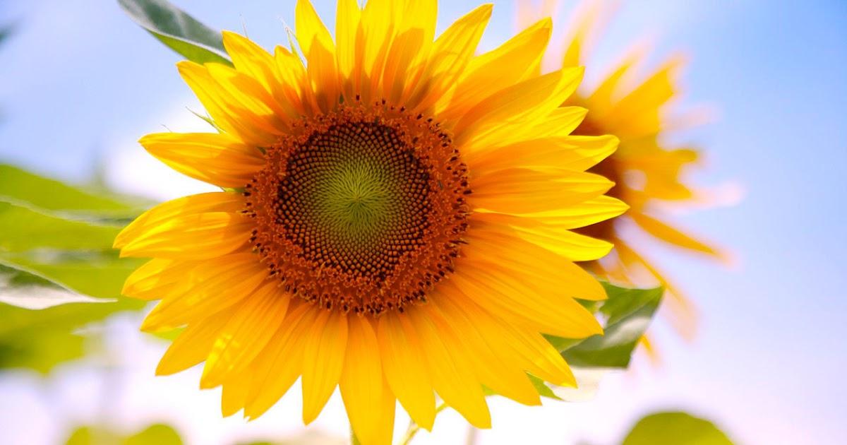 Free Fall Desktop Wallpaper For Windows 7 Wallpapers Sunflowers Desktop Wallpapers