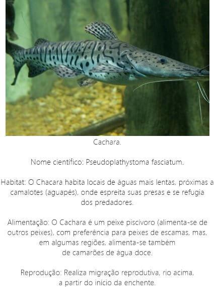 Peixe-Cachara