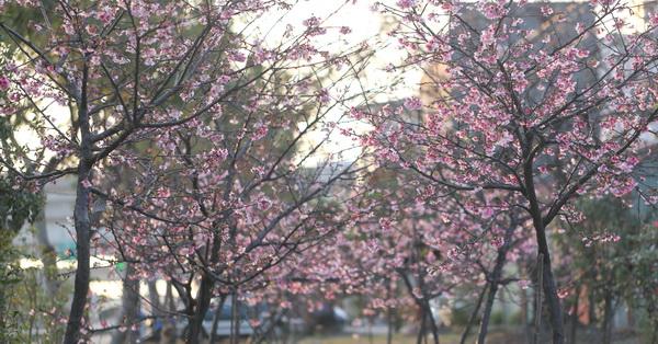 台中烏日|2018湖日社區河津櫻花開,數十棵粉紅櫻花,平地賞櫻好去處