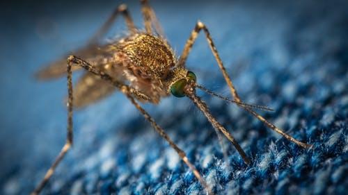 Dengue Mosquito Image,dengue ke lakshan