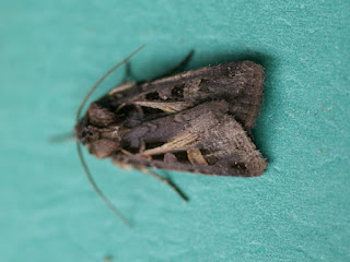 Feltia herilis - Papillon nocturne du Québec