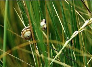 Mengendalikan keong mas dengan cara alami tanpa pestisida