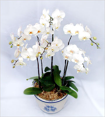 Rangkaian Bunga Anggrek Bulan  Florist Jakarta
