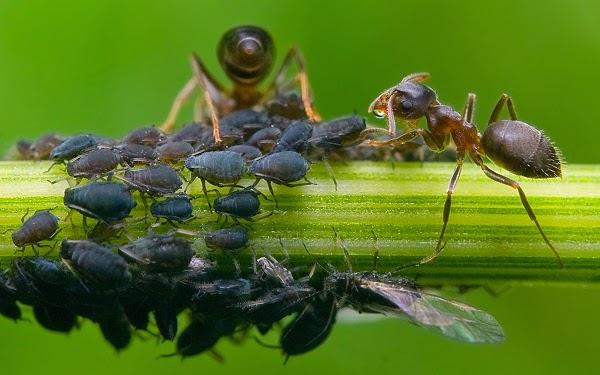 inraa veille scientifique le puceron un insecte deux visages. Black Bedroom Furniture Sets. Home Design Ideas