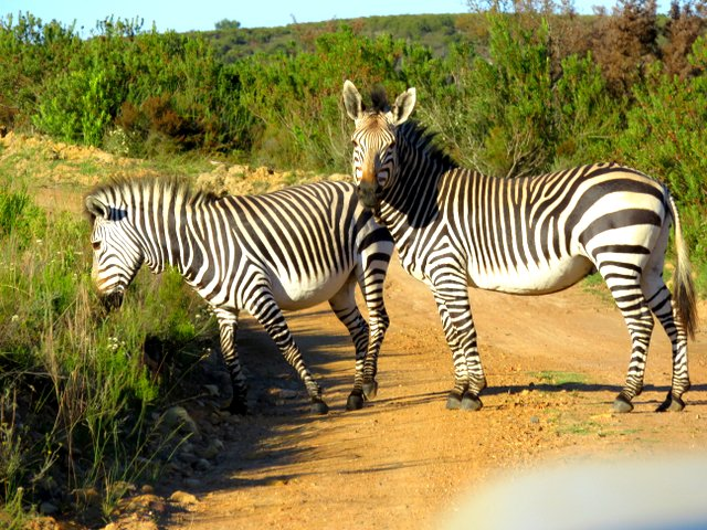 Zebras at Botlierskop