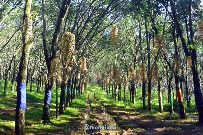 Pohon karet dekat area pasar karetan