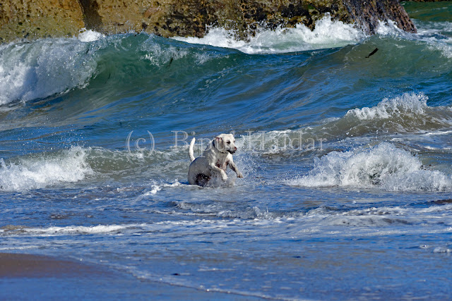Dog Playing with the Waves