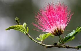 शिरीष के फूल