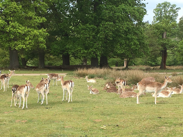 knole deers