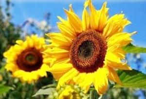 HOW TO GROW SUNFLOWER FROM SEEDS | GARDEN FLOWER PLANTS