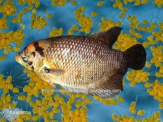 jenis gurame yang cepat besar, gurame soang, jenis ikan gurame hias, gurame bastar, gurame batu, gurame porselen, gurame bluesafir, jenis jenis ikan gurame dan gambarnya.