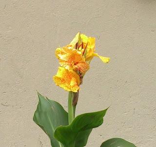 fotografia de la flor de achira
