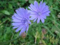 blue dandelion flower