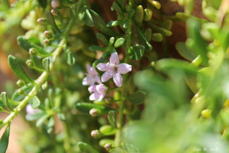 Mioporum parvifolium, cobertora de jardín seco