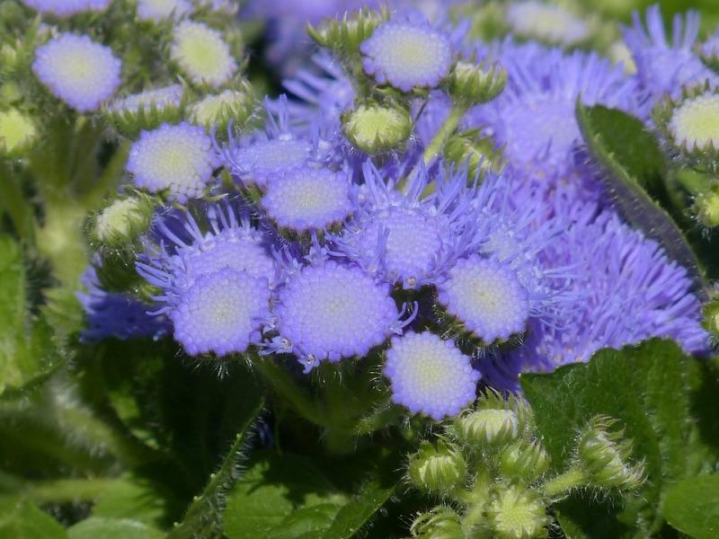 Tanaman Hias Bunga Ageratum