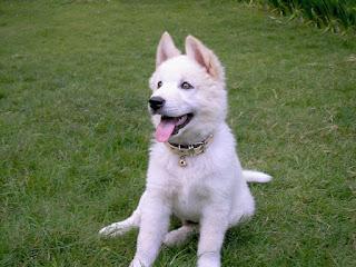Anjing Kintmani bali