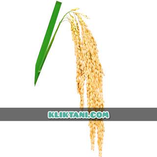 varietas padi produksi tertinggi