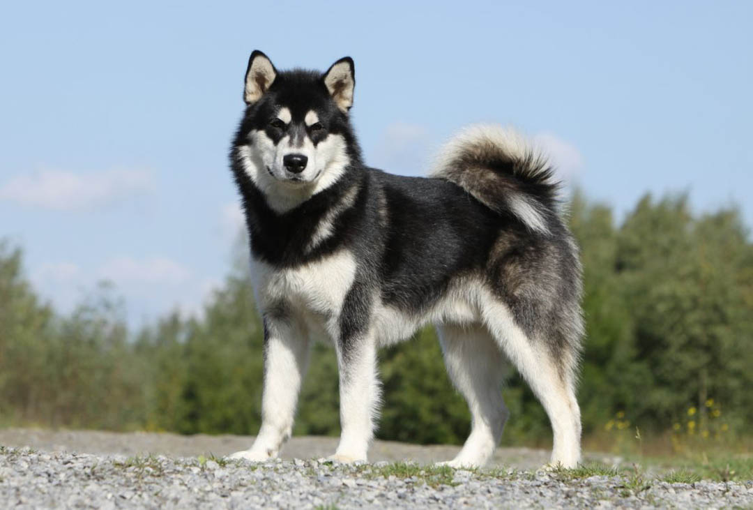 Alaskan Malamute  Breed Profile  Australian Dog Lover