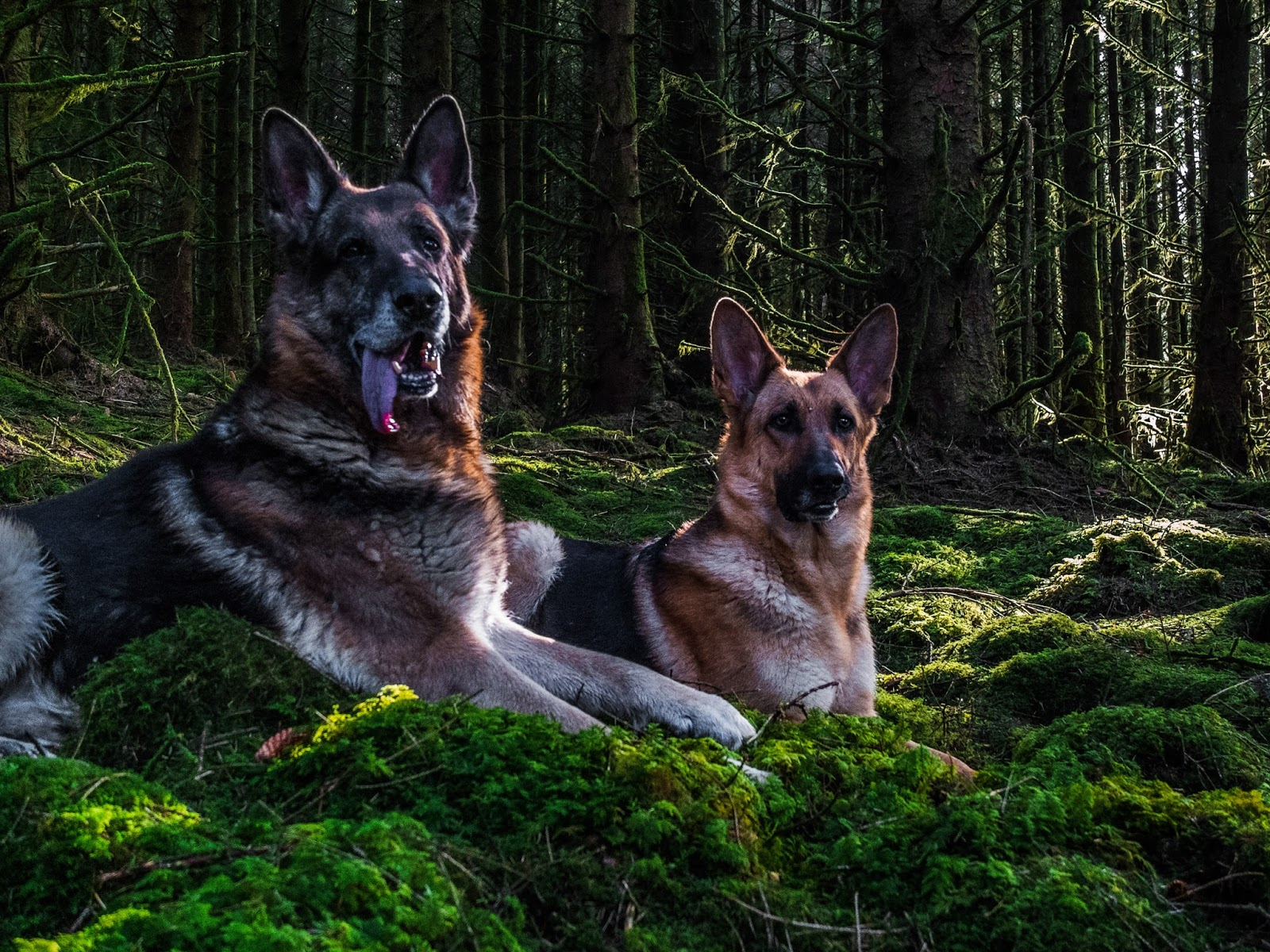 German Shepherd pair lying on moss in a forest.