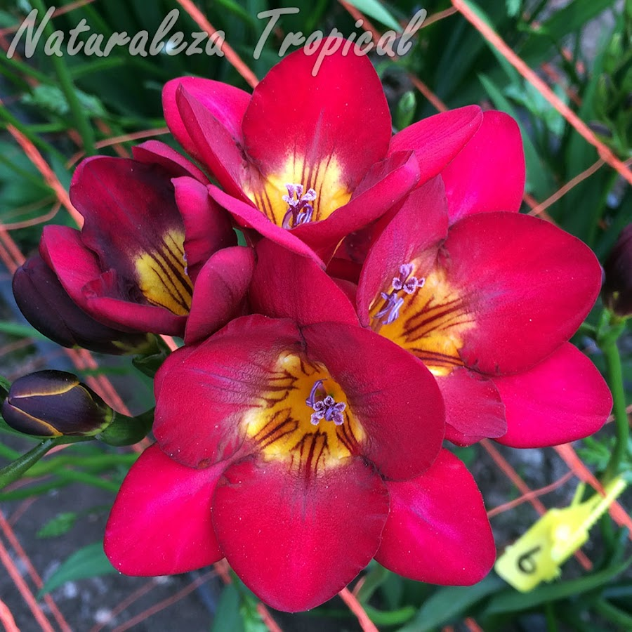 Variedades fucsias de las flores de un cultivar del género Freesia