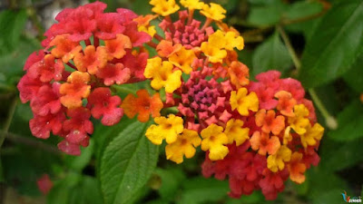 Hoa ngũ sắc chữa viêm xoang hiệu quả