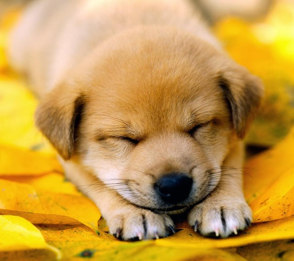 Sleeping Dog Wallpaper Cute On Pc Beautiful Desktop Wallpapers 2014