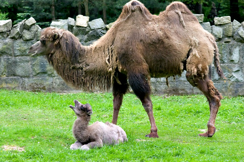 Baby Animals: Camel - Calf 6