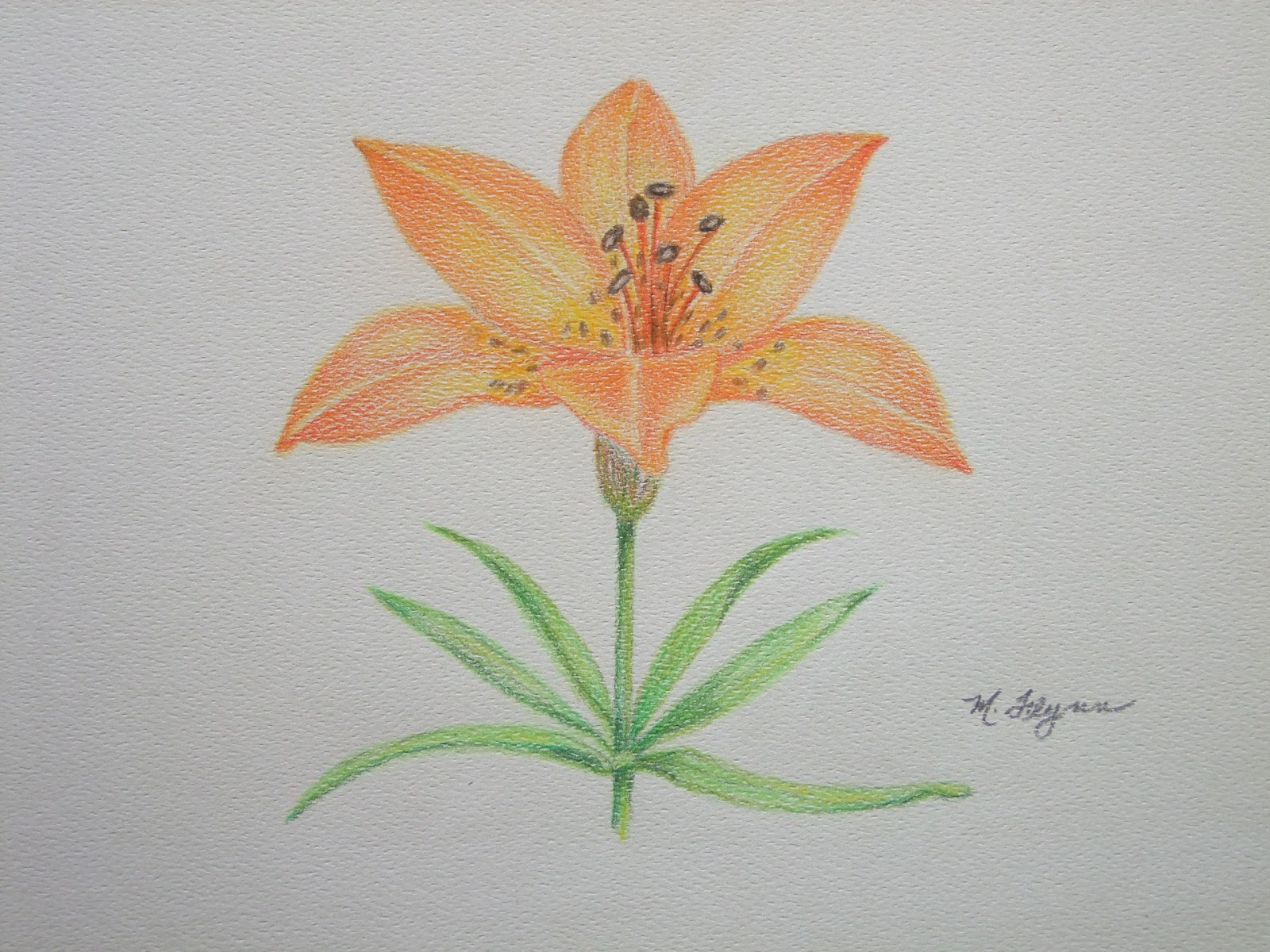 My Artbox Western Red Lily Prairie Lily 9x12 Colored Pencils On