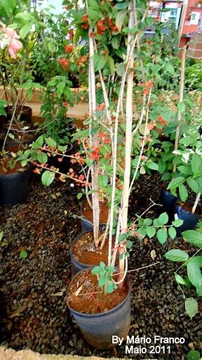 Venda de mudas CHAPÉU-CHINÊS - (  Holmskioldia sanguinea )