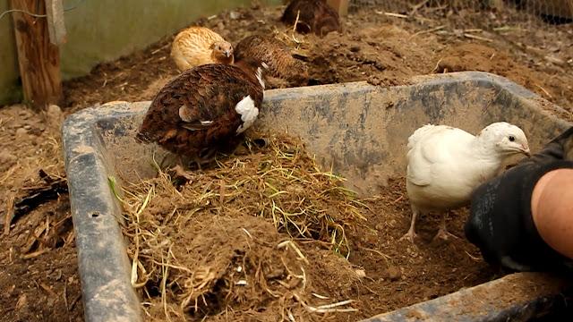 organic gardening using quail for pest control