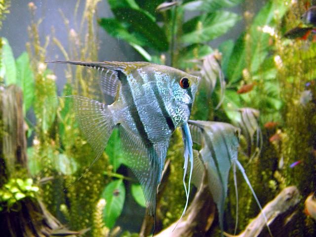 Freshwater angelfish (Pterophyllum scalare) at the Montreal Biodome