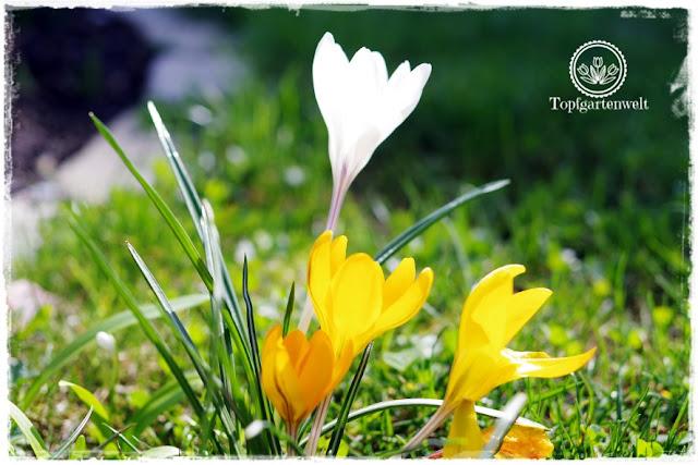 Gartenblog Topfgartenwelt Frühling Frühlingsgarten Zwiebelblumen: Krokusse in der Wiese