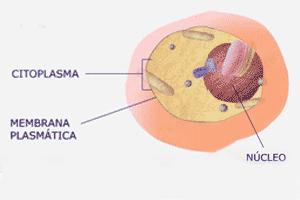 División básica de una célula, en este caso, de tipo eucariota