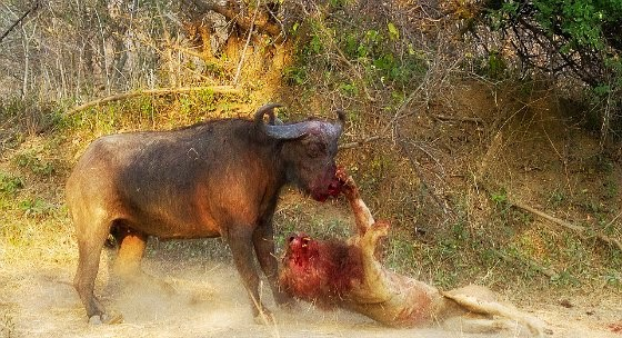 Dramatic encounter between lion and buffalo shows the lion biting and clawing on to buffalo's mouth while both are covered in blood via geniushowto.blogspot.com animal encounter photos