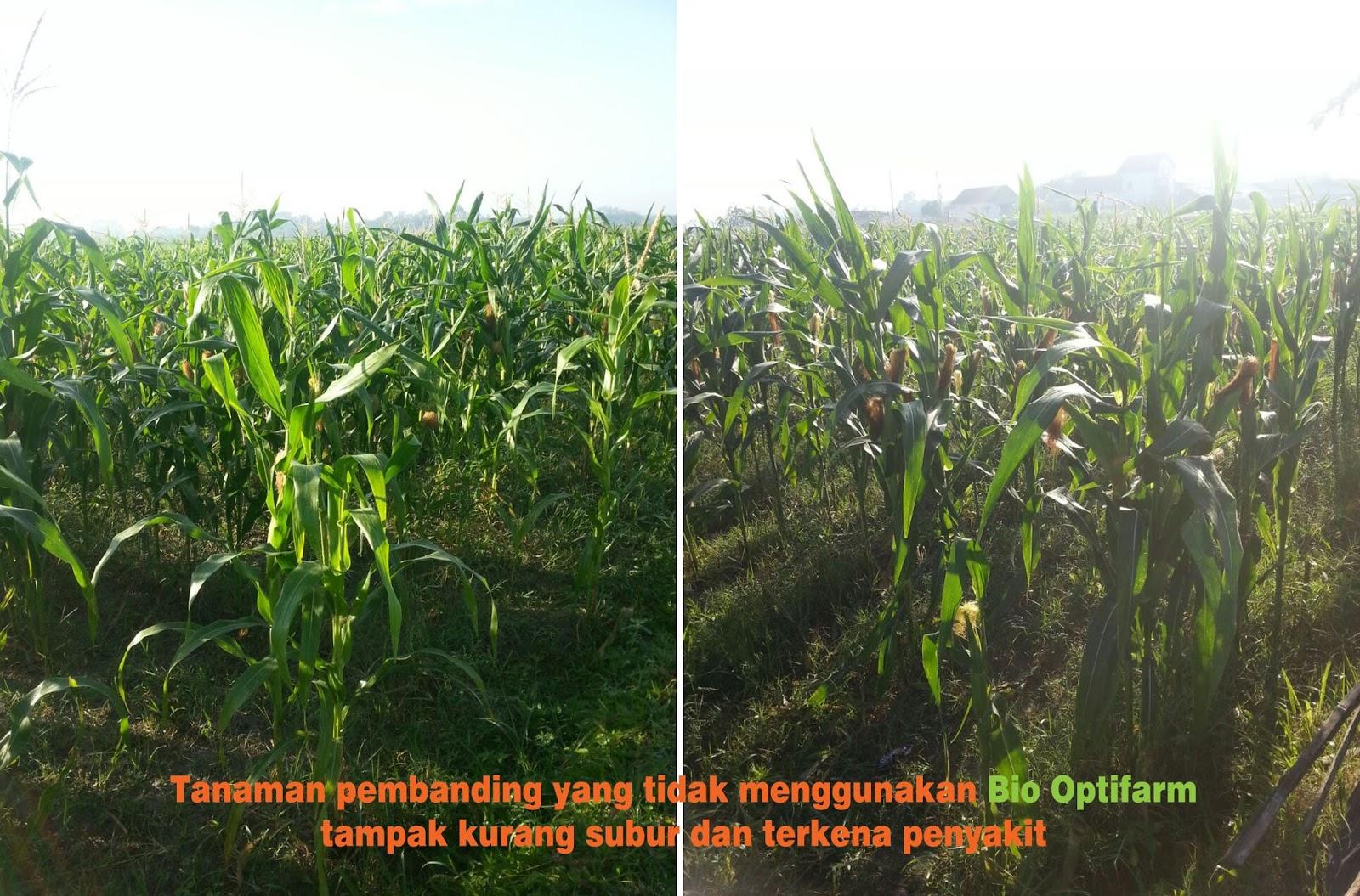 2 foto ini tanaman jagung pembanding yang tidak pakai Bio Optifarm